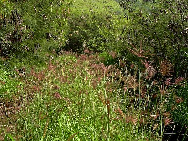 Swollen Fingergrass (Chloris Barbata) https://www.sagebud.com/swollen-fingergrass-chloris-barbata/