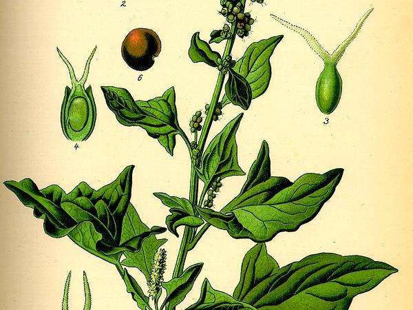 Good King Henry (Chenopodium Bonus-Henricus) https://www.sagebud.com/good-king-henry-chenopodium-bonus-henricus