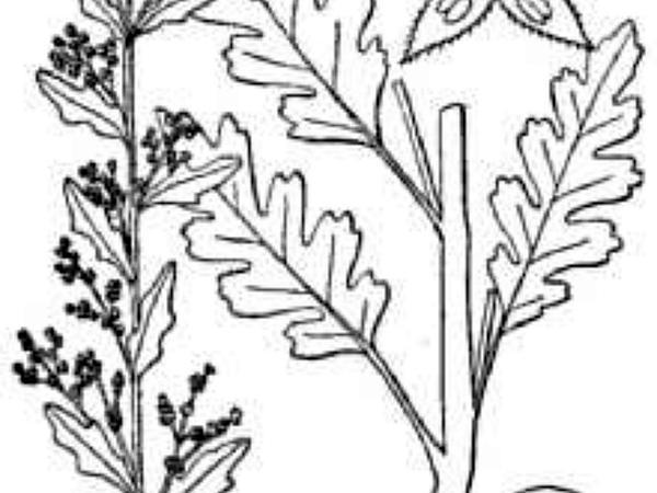 Jerusalem Oak Goosefoot (Chenopodium Botrys) https://www.sagebud.com/jerusalem-oak-goosefoot-chenopodium-botrys/
