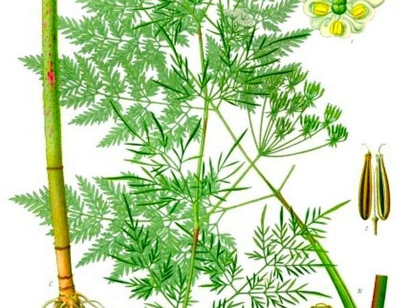 Turnip-Root Chervil (Chaerophyllum Bulbosum) https://www.sagebud.com/turnip-root-chervil-chaerophyllum-bulbosum