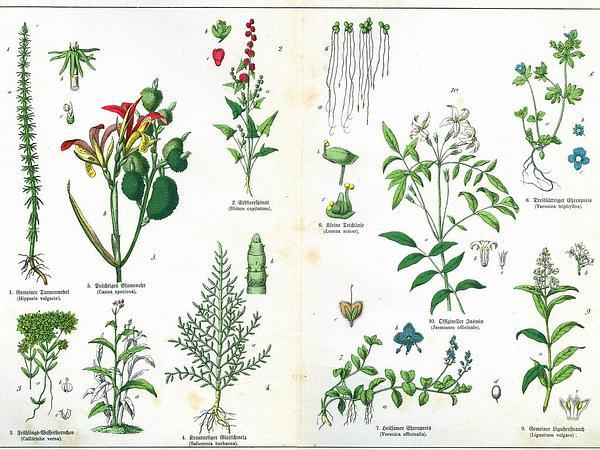Blite Goosefoot (Chenopodium Capitatum) https://www.sagebud.com/blite-goosefoot-chenopodium-capitatum