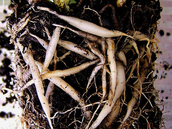 Spider Plant (Chlorophytum Comosum) https://www.sagebud.com/spider-plant-chlorophytum-comosum