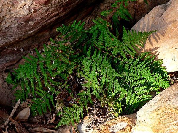Coville's Lipfern (Cheilanthes Covillei) https://www.sagebud.com/covilles-lipfern-cheilanthes-covillei/