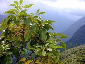 Cheirodendron