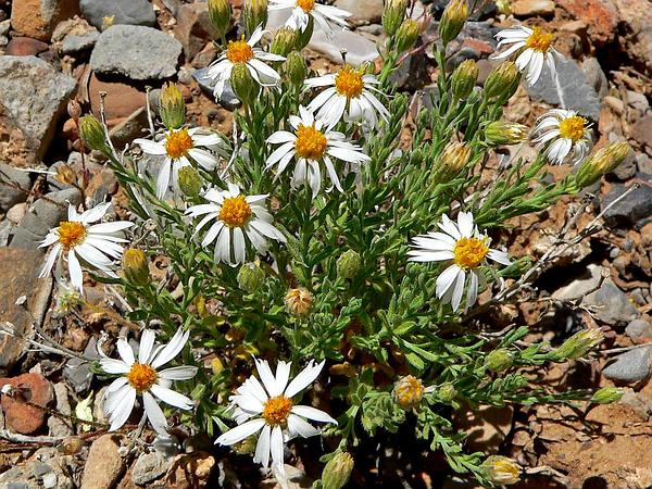 Rose Heath (Chaetopappa Ericoides) https://www.sagebud.com/rose-heath-chaetopappa-ericoides