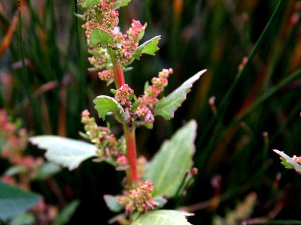 Leafy Goosefoot (Chenopodium Foliosum) https://www.sagebud.com/leafy-goosefoot-chenopodium-foliosum