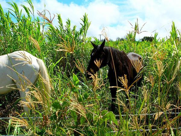 Rhodes Grass (Chloris Gayana) https://www.sagebud.com/rhodes-grass-chloris-gayana