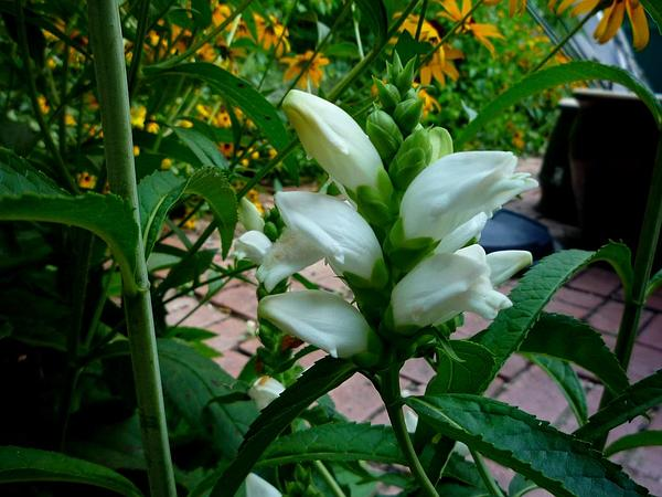 White Turtlehead (Chelone Glabra) https://www.sagebud.com/white-turtlehead-chelone-glabra