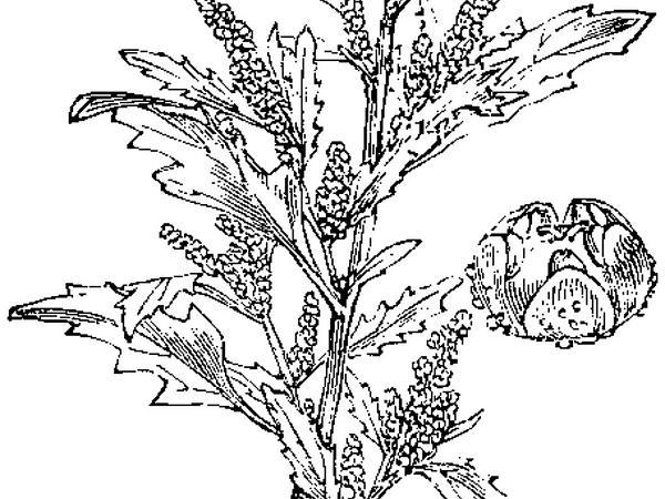 Oakleaf Goosefoot (Chenopodium Glaucum) https://www.sagebud.com/oakleaf-goosefoot-chenopodium-glaucum