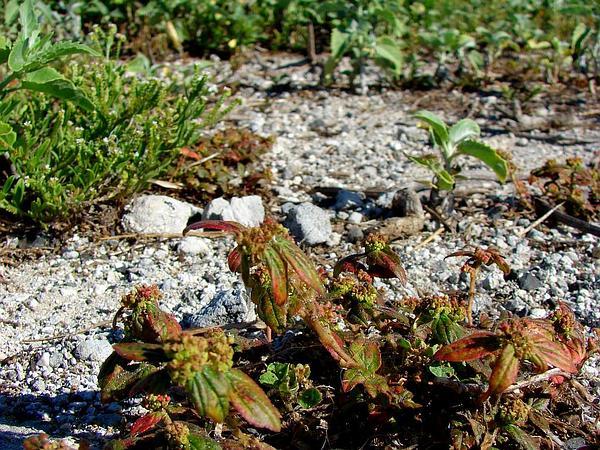 Pillpod Sandmat (Chamaesyce Hirta) https://www.sagebud.com/pillpod-sandmat-chamaesyce-hirta