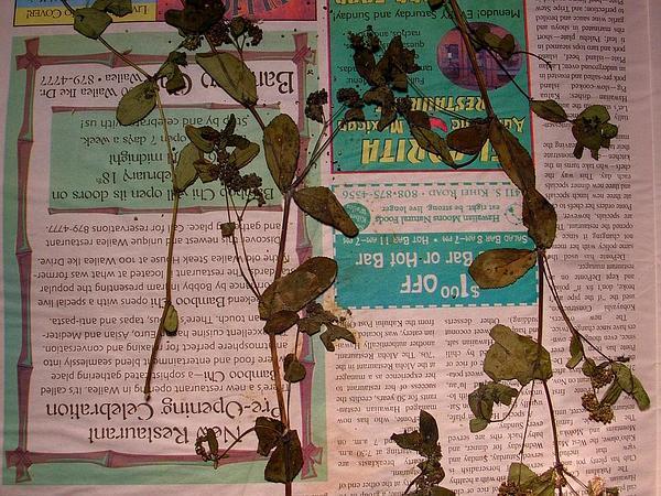 Graceful Sandmat (Chamaesyce Hypericifolia) https://www.sagebud.com/graceful-sandmat-chamaesyce-hypericifolia
