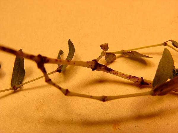 Hyssopleaf Sandmat (Chamaesyce Hyssopifolia) https://www.sagebud.com/hyssopleaf-sandmat-chamaesyce-hyssopifolia