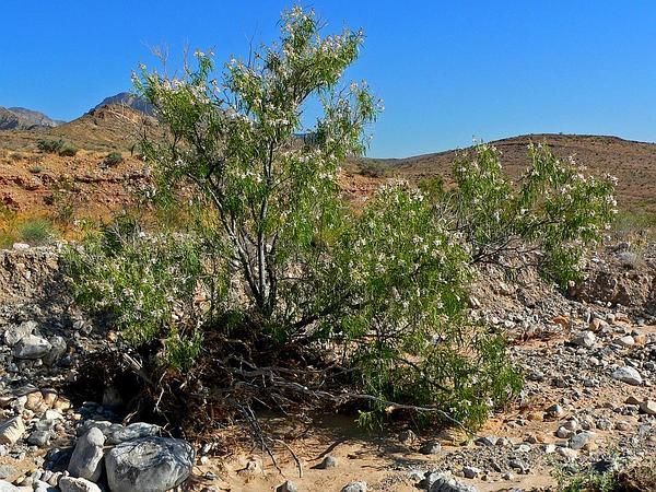 Desert Willow (Chilopsis) https://www.sagebud.com/desert-willow-chilopsis