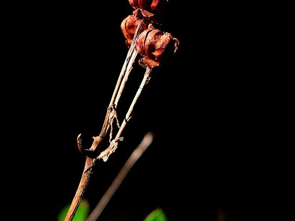 Prince's Pine (Chimaphila) https://www.sagebud.com/princes-pine-chimaphila