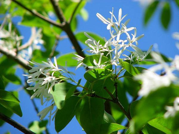 Fringetree (Chionanthus) https://www.sagebud.com/fringetree-chionanthus