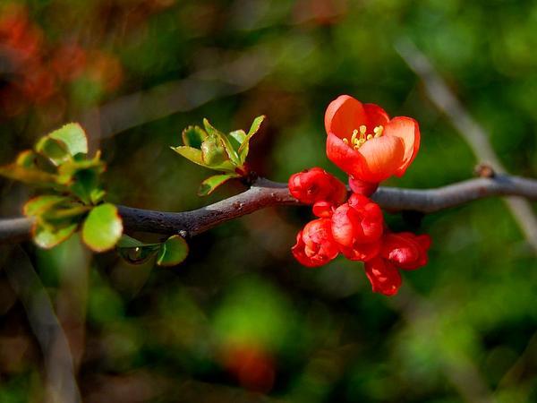 Maule's Quince (Chaenomeles Japonica) https://www.sagebud.com/maules-quince-chaenomeles-japonica/