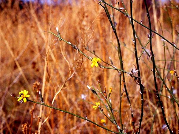 Rush Skeletonweed (Chondrilla Juncea) https://www.sagebud.com/rush-skeletonweed-chondrilla-juncea