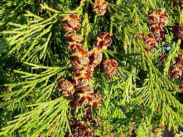 Port Orford Cedar (Chamaecyparis Lawsoniana) https://www.sagebud.com/port-orford-cedar-chamaecyparis-lawsoniana/
