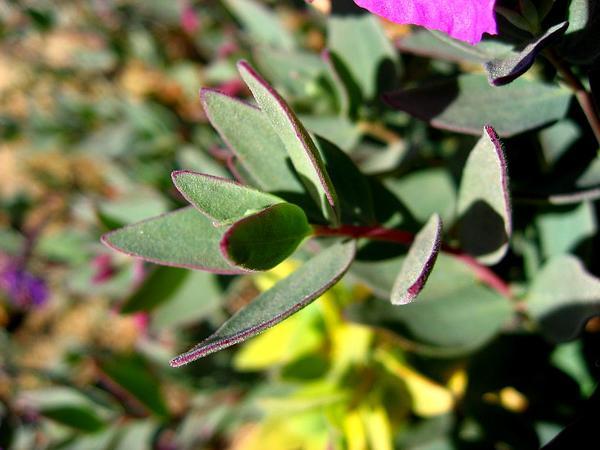 Dwarf Fireweed (Chamerion Latifolium) https://www.sagebud.com/dwarf-fireweed-chamerion-latifolium