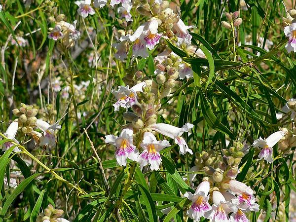 Desert Willow (Chilopsis Linearis) https://www.sagebud.com/desert-willow-chilopsis-linearis