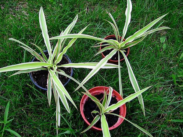 Chlorophytum (Chlorophytum) https://www.sagebud.com/chlorophytum-chlorophytum