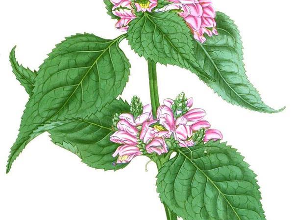 Pink Turtlehead (Chelone Lyonii) https://www.sagebud.com/pink-turtlehead-chelone-lyonii