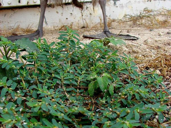 Spotted Sandmat (Chamaesyce Maculata) https://www.sagebud.com/spotted-sandmat-chamaesyce-maculata