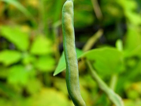 Celandine (Chelidonium Majus) https://www.sagebud.com/celandine-chelidonium-majus