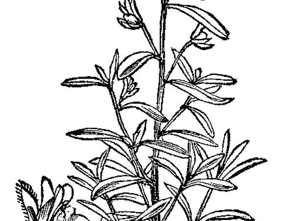 Dwarf Snapdragon (Chaenorhinum Minus) https://www.sagebud.com/dwarf-snapdragon-chaenorhinum-minus