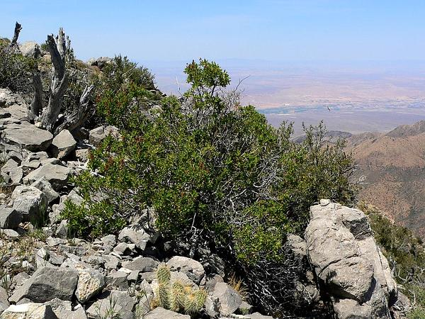 Desert Sweet (Chamaebatiaria Millefolium) https://www.sagebud.com/desert-sweet-chamaebatiaria-millefolium