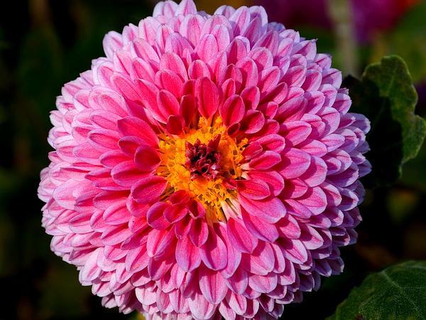 Florist's Daisy (Chrysanthemum Morifolium) https://www.sagebud.com/florists-daisy-chrysanthemum-morifolium