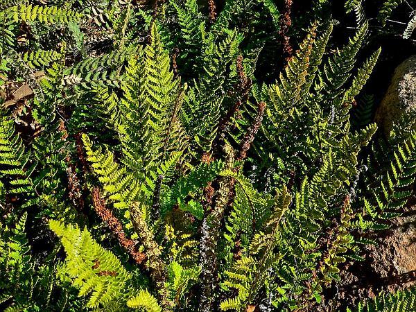 Royal Lipfern (Cheilanthes Notholaenoides) https://www.sagebud.com/royal-lipfern-cheilanthes-notholaenoides