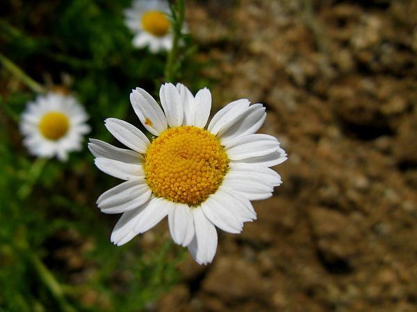 Roman Chamomile (Chamaemelum Nobile) https://www.sagebud.com/roman-chamomile-chamaemelum-nobile