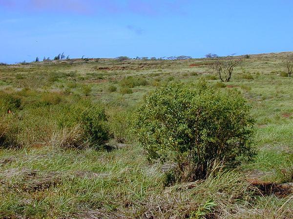 Alaweo (Chenopodium Oahuense) https://www.sagebud.com/alaweo-chenopodium-oahuense