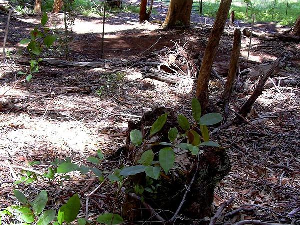 Satinleaf (Chrysophyllum Oliviforme) https://www.sagebud.com/satinleaf-chrysophyllum-oliviforme