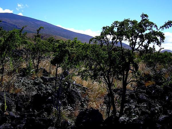 Alpine Sandmat (Chamaesyce Olowaluana) https://www.sagebud.com/alpine-sandmat-chamaesyce-olowaluana