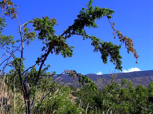 Alpine Sandmat (Chamaesyce Olowaluana) https://www.sagebud.com/alpine-sandmat-chamaesyce-olowaluana/
