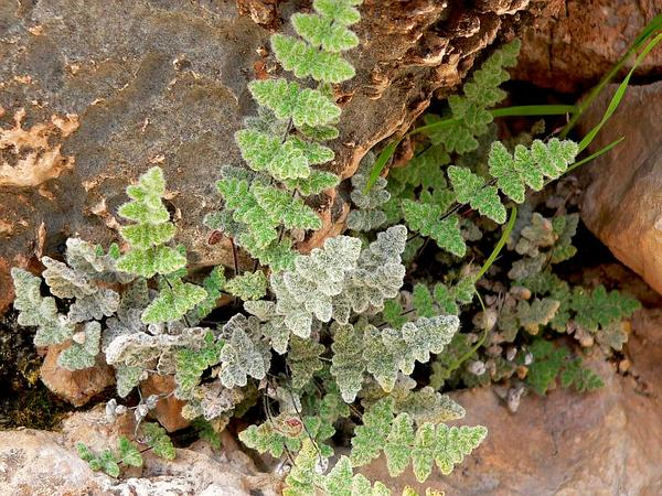 Parry's Lipfern (Cheilanthes Parryi) https://www.sagebud.com/parrys-lipfern-cheilanthes-parryi