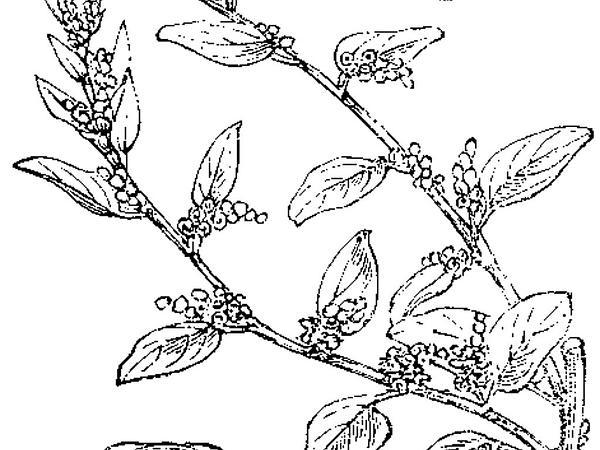 Manyseed Goosefoot (Chenopodium Polyspermum) https://www.sagebud.com/manyseed-goosefoot-chenopodium-polyspermum