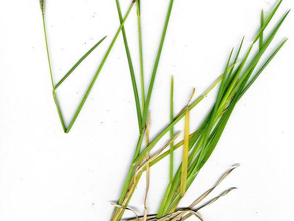 Radiate Fingergrass (Chloris Radiata) https://www.sagebud.com/radiate-fingergrass-chloris-radiata