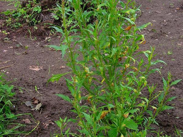 Red Goosefoot (Chenopodium Rubrum) https://www.sagebud.com/red-goosefoot-chenopodium-rubrum