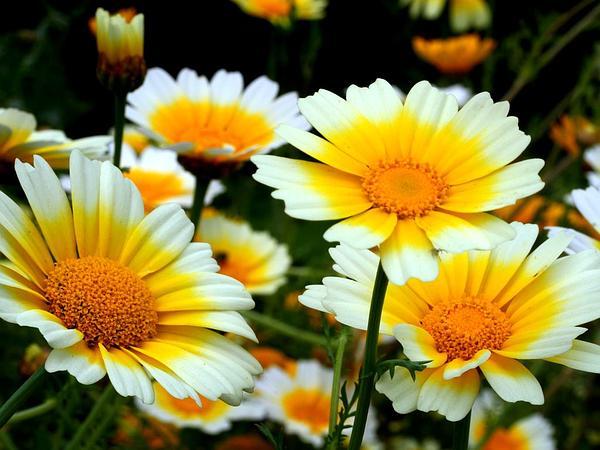 Daisy (Chrysanthemum) https://www.sagebud.com/daisy-chrysanthemum