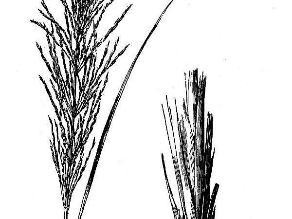 False Beardgrass (Chrysopogon) https://www.sagebud.com/false-beardgrass-chrysopogon