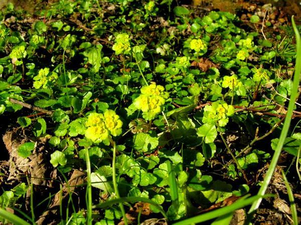 Golden Saxifrage (Chrysosplenium) https://www.sagebud.com/golden-saxifrage-chrysosplenium