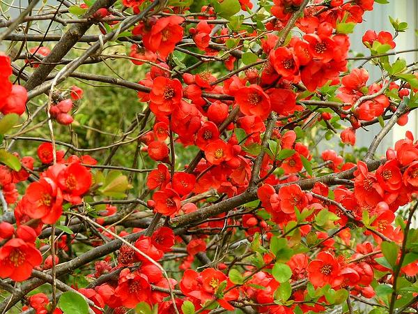 Flowering Quince (Chaenomeles Speciosa) https://www.sagebud.com/flowering-quince-chaenomeles-speciosa