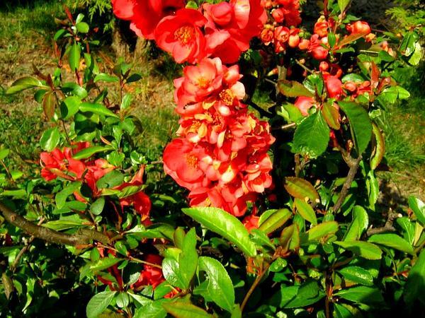 Flowering Quince (Chaenomeles Speciosa) https://www.sagebud.com/flowering-quince-chaenomeles-speciosa