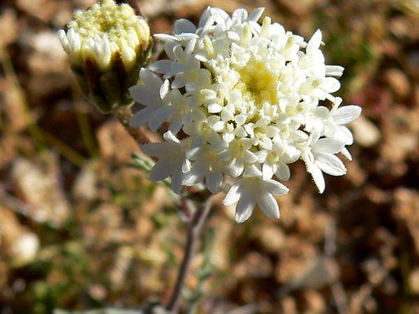 Esteve's Pincushion (Chaenactis Stevioides) https://www.sagebud.com/esteves-pincushion-chaenactis-stevioides