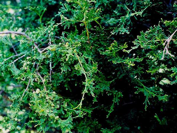 Atlantic White Cedar (Chamaecyparis Thyoides) https://www.sagebud.com/atlantic-white-cedar-chamaecyparis-thyoides