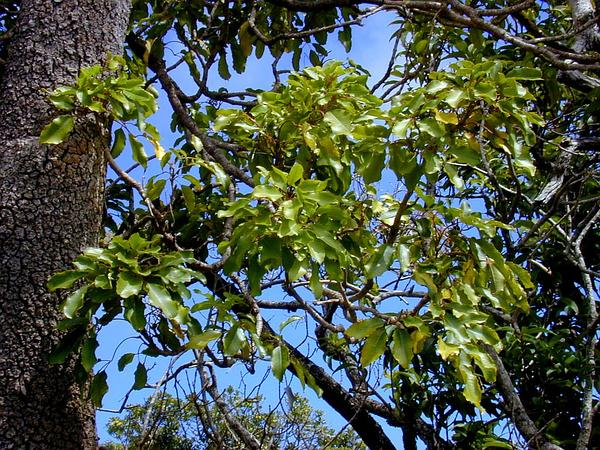 Olapalapa (Cheirodendron Trigynum) https://www.sagebud.com/olapalapa-cheirodendron-trigynum