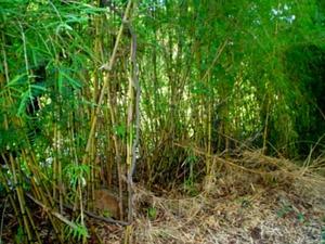Chusquea Bamboo